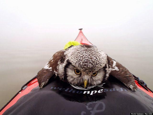 o-OWL-RESCUE-900