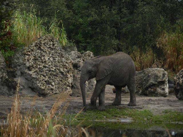 Gorgeous elephants at Disney's Animal Kingdom playing..