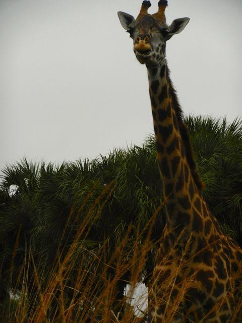 giraffe AKS