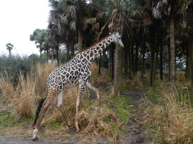 giraffeAKS5