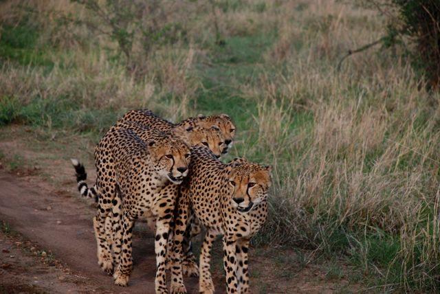 cheetahs 4 A