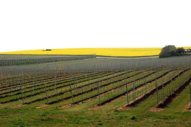 the vines1