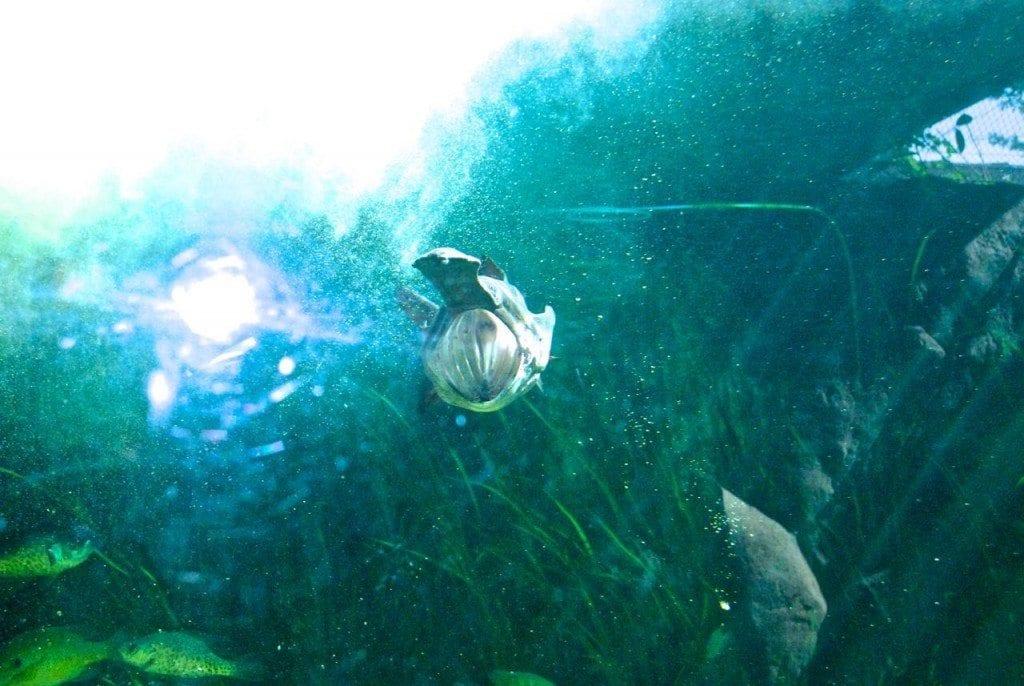 River safari open mouth fish