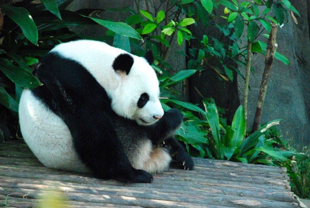 River safari panda 1