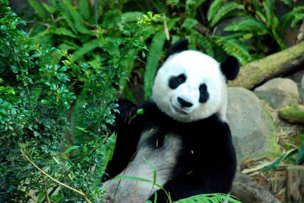 The pandas on the River Safari