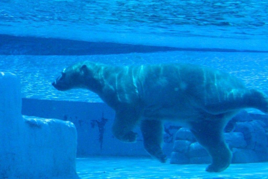 River safari polar under water 1