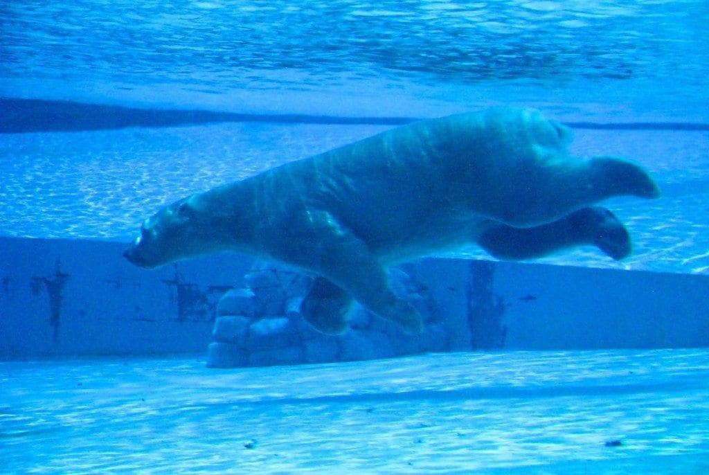 River safari polar under water