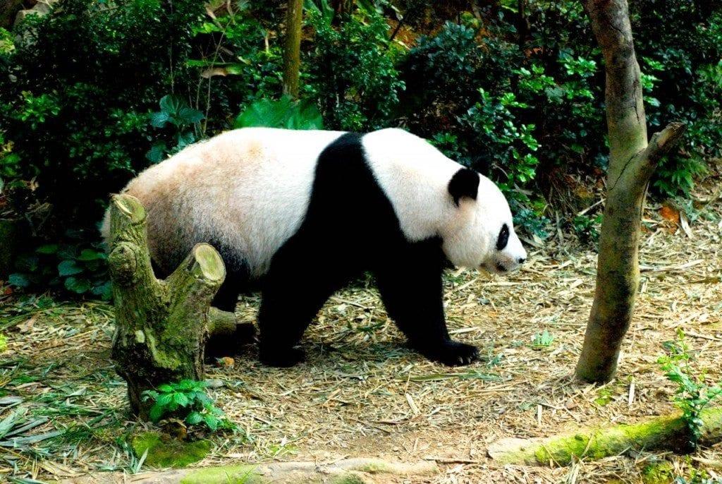 river safari panda walking