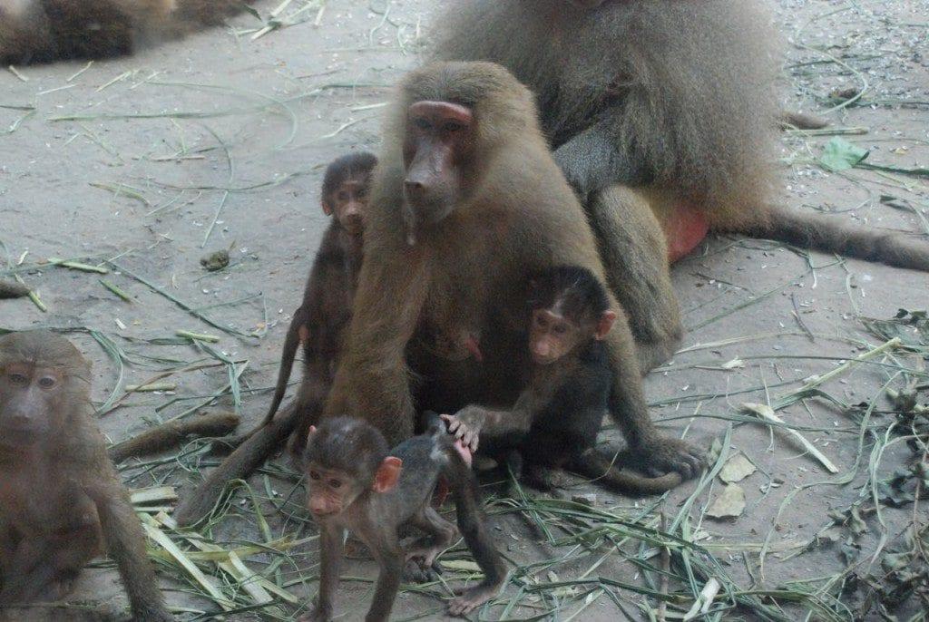 zoo baboons