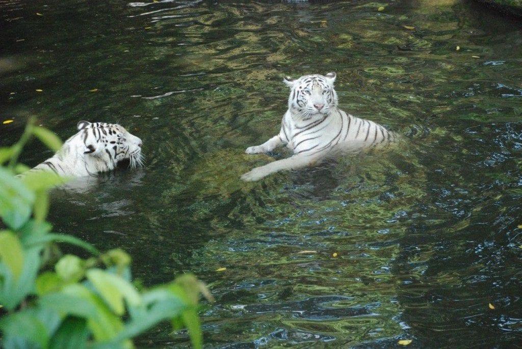 zoo white tiger 1 & 2 apart
