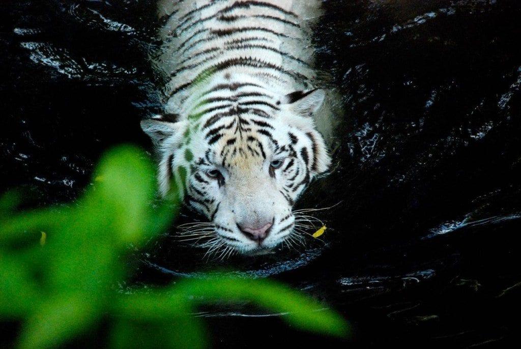 zoo white tiger 1 head
