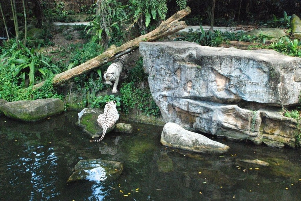 zoo white tiger home 1 & 2