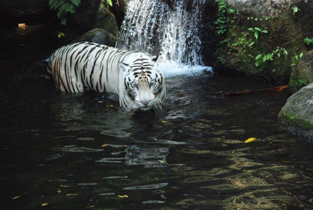 zoo white tigers 1