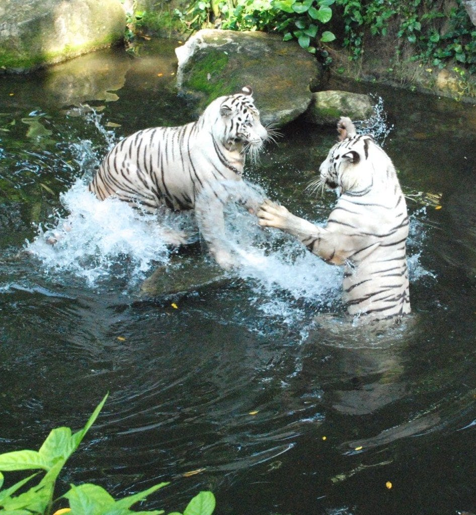 zoo white tigers fighting 1
