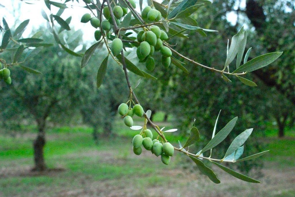 CN green olives