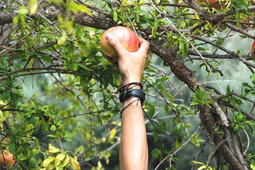 CN picking a pomegranate