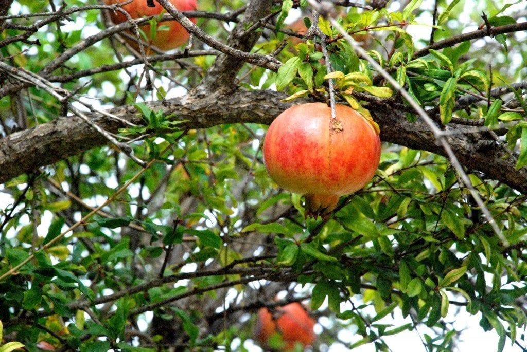CN pomegranate on tree