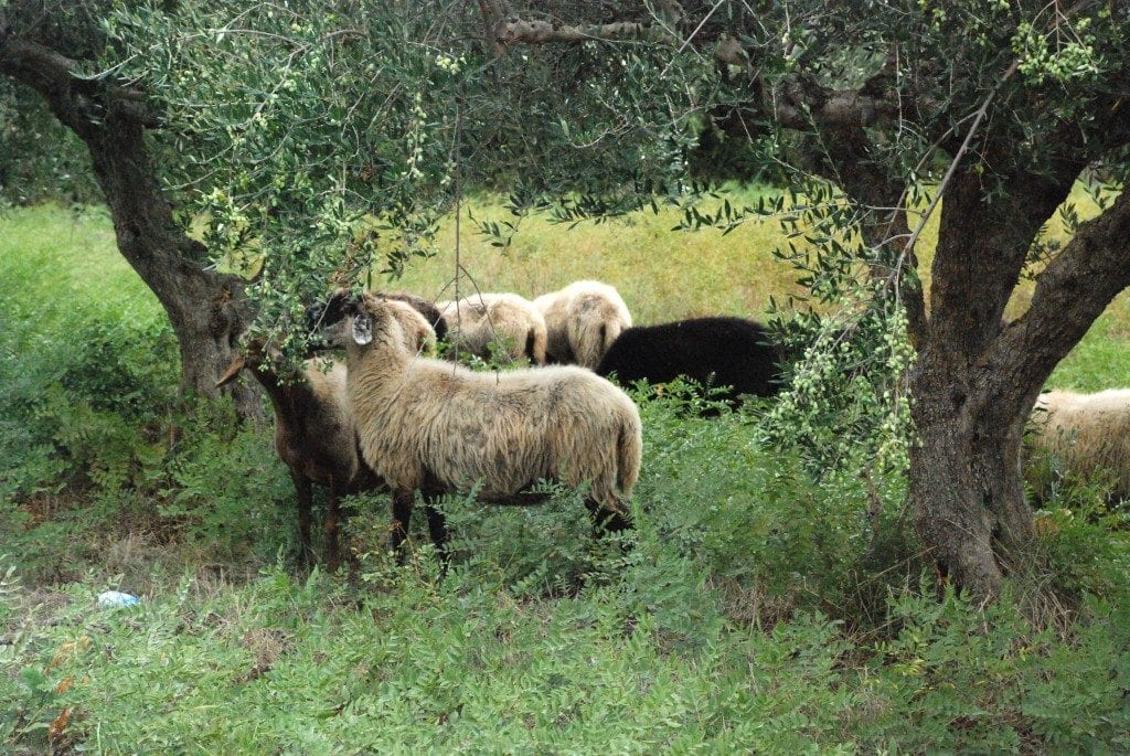 CN sheep