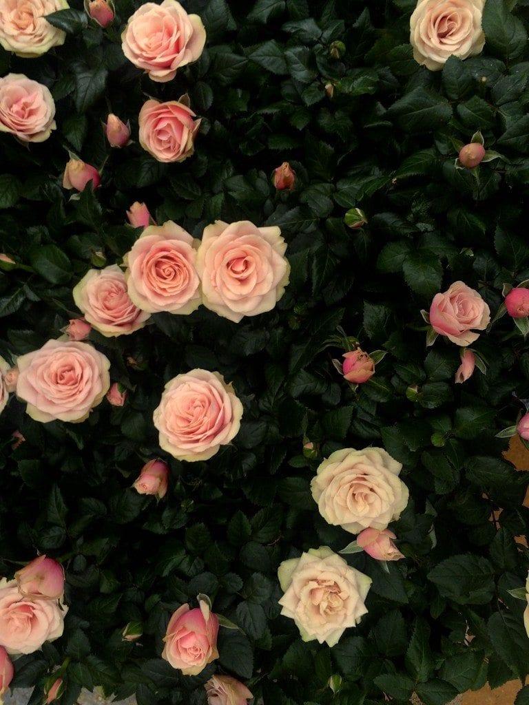 bday Petersham roses