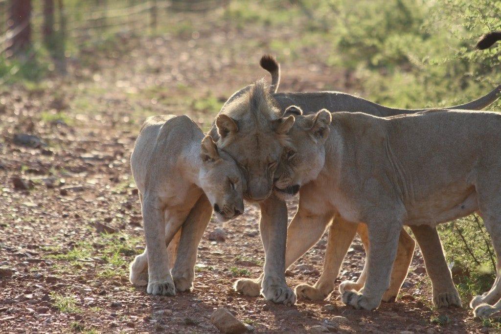 lion love in
