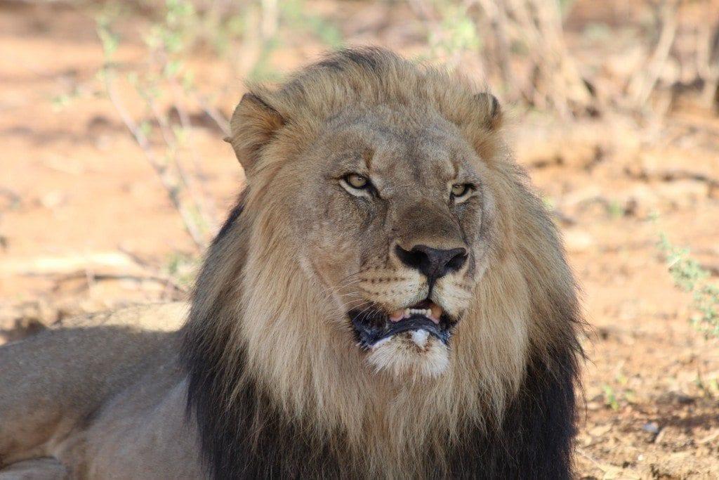lion mdikwe