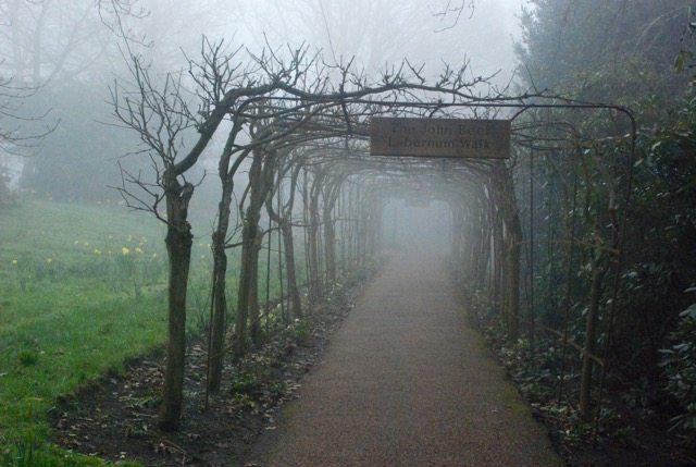 Misty laburnum walk