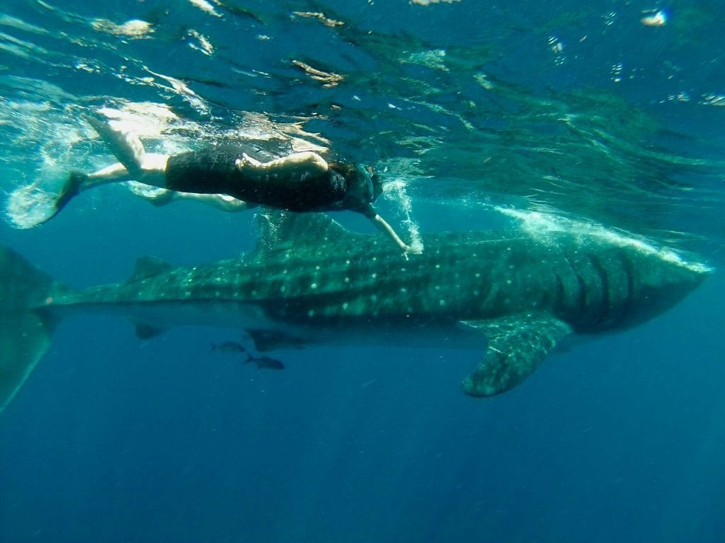 Me & A swimming with whale sharks