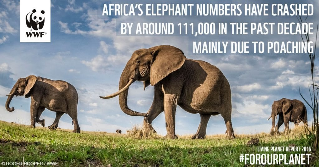african-elephant_poaching