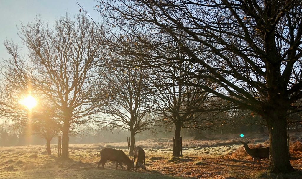 Deer in the Richmond Park frost