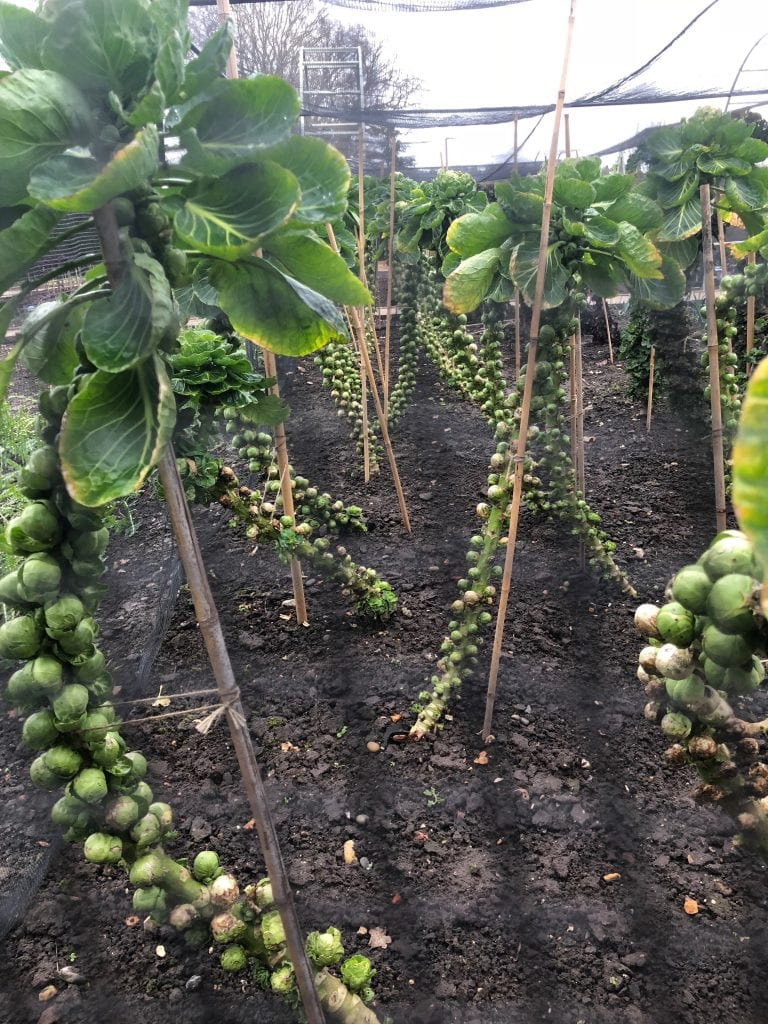 Wisley brussel sprouts